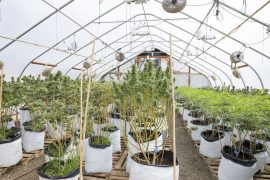 Legal Marijuana Grow Facility in Oregon